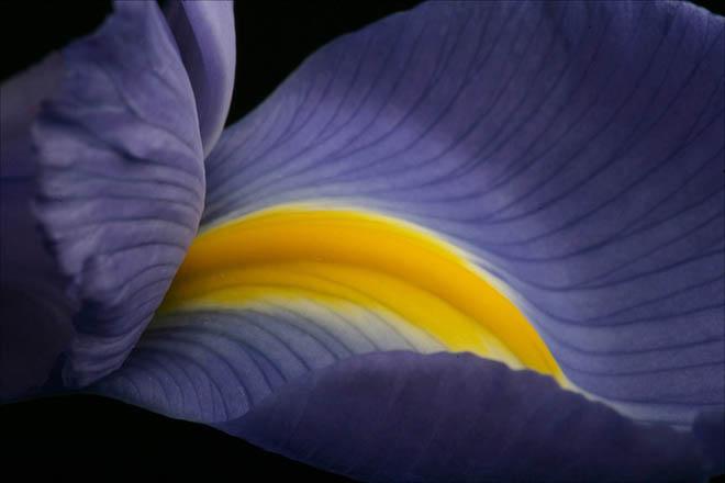 Il fiore dell'iris ritratto da Declan McCullagh nel 2005