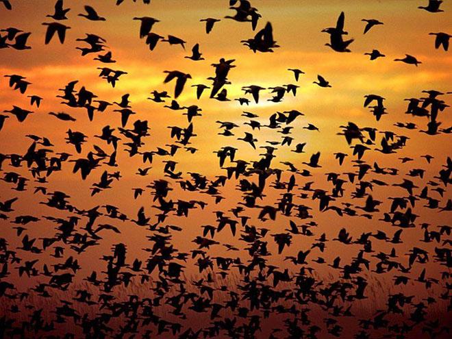 Volo di uccelli al tramonto